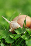 Snail. Helix pomatia. Royalty Free Stock Photos