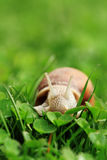Snail. Helix pomatia. Royalty Free Stock Photo