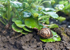 Snail (Helix pomatia) against  strawberry leaf Stock Image