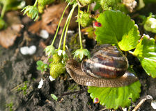 Snail (Helix pomatia) against  strawberry leaf Stock Images