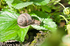 Snail (Helix pomatia) against  strawberry leaf Royalty Free Stock Photo