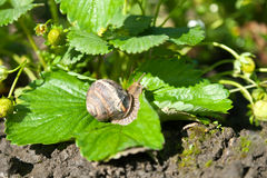 Snail (Helix pomatia) against  strawberry leaf Royalty Free Stock Photos