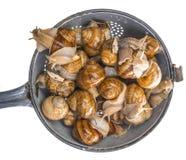 Snail Helix pomatia - Burgundy snail - edible snail Royalty Free Stock Images