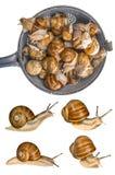 Snail Helix pomatia - Burgundy snail - edible snail Stock Images