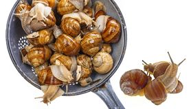 Snail Helix pomatia - Burgundy snail - edible snail Stock Photo