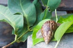 Snail (Helix pomatia, Burgundy snail, Roman snail, edible snail, Stock Photos