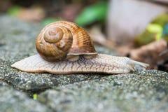 Snail helix pomatia Royalty Free Stock Photos