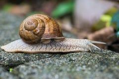 Snail helix pomatia Stock Photos