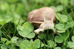 Snail. Helix pomatia. Royalty Free Stock Image