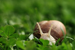 Snail. Helix pomatia. Royalty Free Stock Images