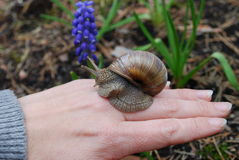 Snail (Helix pomatia) crawling on hand. Royalty Free Stock Photography
