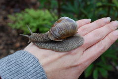 Snail (Helix pomatia) crawling on hand. Stock Image