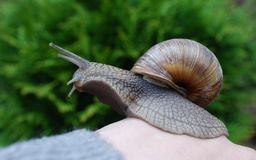 Snail (Helix pomatia) crawling on hand. Royalty Free Stock Photos