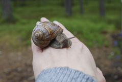 Snail (Helix pomatia) crawling on hand. Stock Images