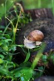 Snail Helix pomatia Stock Photo