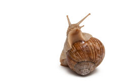 Snail. Helix pomatia. Stock Photo