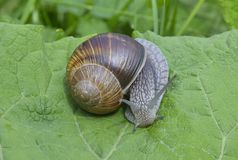 Snail (Helix pomatia) Royalty Free Stock Photos