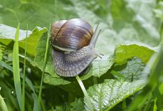 Snail (Helix pomatia) Royalty Free Stock Photography