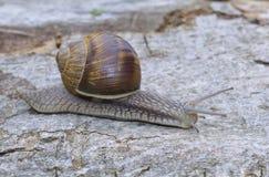 Snail (Helix pomatia) Royalty Free Stock Image