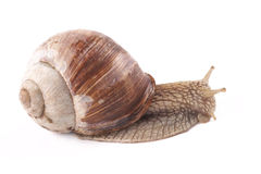 Snail Helix pomatia on a white background Stock Image