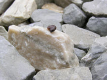 Snail hiding in a shell Royalty Free Stock Photography