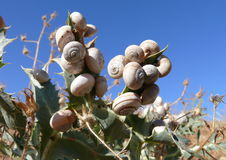Snail hill. Snails occupy plants on Sicilian Monte conca Royalty Free Stock Photography