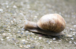 Snail with horns pulling armor Royalty Free Stock Photos