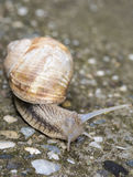 Snail with horns Royalty Free Stock Images