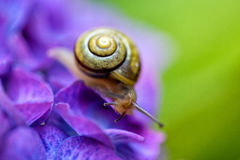 Snail on Hortensia Flower Stock Images