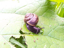 Snail with house, eating Royalty Free Stock Photography