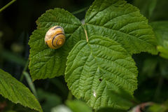 Snail with house on a green leaf Royalty Free Stock Photography