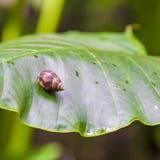 Snail on huge leaf in rainforest Stock Image