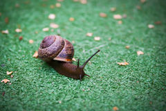 Snail in a hurry Stock Photo