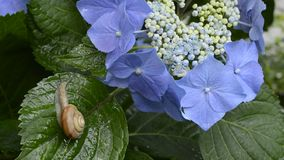 Snail and hydrangea stock video footage