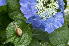 Snail and hydrangea Stock Image