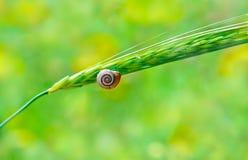 Snail i ett skal som sitter på örat Arkivfoton