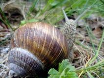 Snail i gräset Royaltyfria Bilder