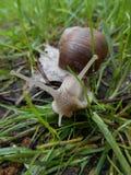 Snail i gräset Arkivfoto