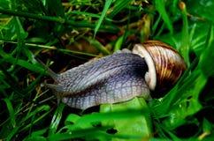 Snail i gräset Fotografering för Bildbyråer
