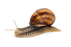 Snail. Ideal for wallpaper. Could be useful in presentations, web and printig design Stock Photography