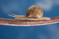 Snail on the iron bar. On the way to his girlfriend. Horizontal version Royalty Free Stock Image
