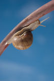 Snail on the iron bar. With blue sky in a background Royalty Free Stock Images