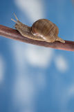 Snail on the iron bar. With blue sky in a background. Vertical version Royalty Free Stock Photo