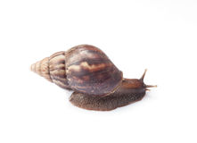 Snail on isolate background Royalty Free Stock Photography