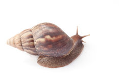 Snail on isolate background Royalty Free Stock Photo