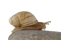 Snail isolated. On white background Stock Photography