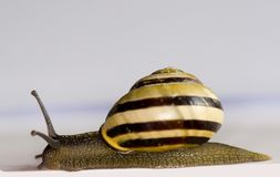 Snail isolated. A snail with a house isolated on white Stock Photos