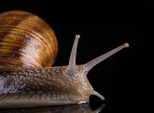 Snail isolated on black background Stock Photography