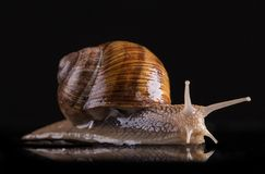 Snail isolated on black background Stock Images