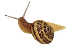 Snail isolated with clipping path Stock Photos
